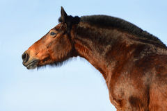Bay horse portrait on the sky background Stock Photo