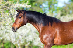 Bay horse portrait on spring background Stock Images