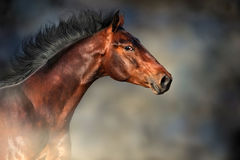 Bay horse portrait. Bay stallion with long mane portrait in motion against dark background Stock Images
