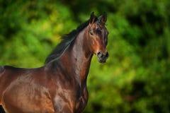 Bay horse portrait Stock Photo