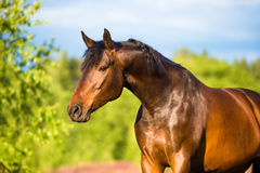 Bay horse portrait in summer Stock Photo
