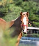 Bay horse portrait Stock Photos
