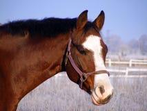 Bay horse portrait in winter. Bay latvian breed horse portrait in winter Stock Image