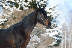 Bay horse portrait in winter Royalty Free Stock Photography