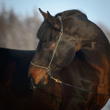 Bay horse portrait in winter Royalty Free Stock Images