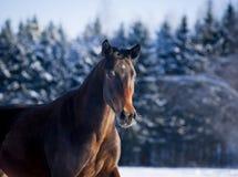 Bay horse portrait in winter Stock Image