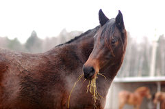 Bay horse portrait in winter time Royalty Free Stock Images