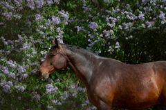 Bay horse posing near the lilac flowers Stock Images