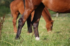 Bay horse rear legs close up Royalty Free Stock Photos