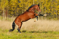Bay horse rearinf in autumn. French trotter rearing on the field in autumn Royalty Free Stock Photography