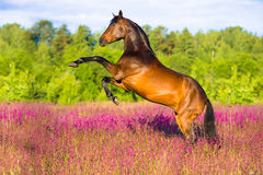 Bay horse rearing in pink flowers. Bay horse rearing up on flowers background in summer time Royalty Free Stock Photography