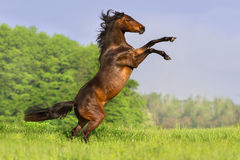 Bay horse rearing up Royalty Free Stock Images
