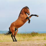 Bay horse rearing up on the meadow. In summer Stock Photos