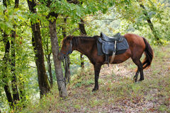 Bay Horse Resting. In forest stock image