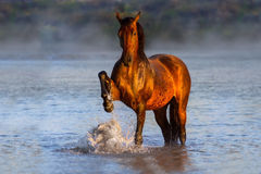 Bay horse in river. Bay horse in mountain river against sunrise fog Stock Image
