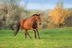 Bay horse run stock images