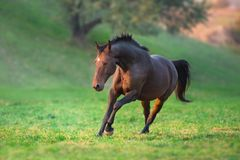 Bay horse run fast. Bay horse run gallop in green meadow stock image