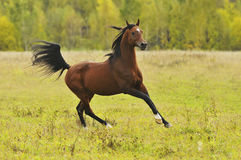 Bay horse run gallop. In autumn Stock Photo