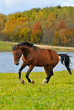 Bay horse run gallop. In autumn Stock Image
