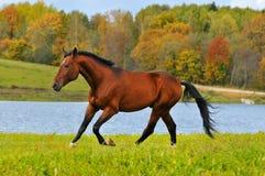 Bay horse run gallop. In autumn Stock Photos