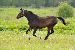 Bay horse run gallop on green meadow in summer day. Outdoors, horizontal. Shallow DOF, focus on horse. Shooting with panning Royalty Free Stock Photo