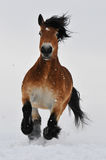 Bay horse run gallop on the snow. In front Stock Photos