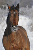 Bay horse run gallop in winter. Bay horse trotter run gallop in winter Stock Photo