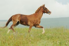 Bay horse run trotted on green meadow in summer day. Brown horse run trotted on green meadow in summer day, outdoors, horizontal Stock Images