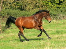 The bay horse running. Across the field Royalty Free Stock Photography