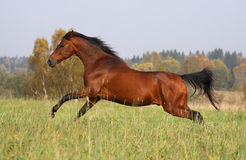 Bay horse running on the autumn meadow Stock Photos
