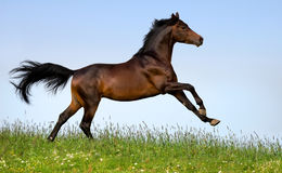 Bay horse running in field Stock Image