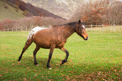 Bay horse running at field in summer in autumn Stock Images