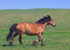 Bay horse running at field in summer Stock Photography