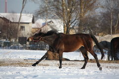 Bay horse running free in winter Royalty Free Stock Image