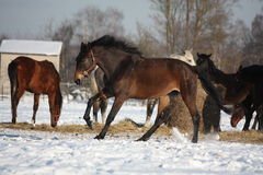 Bay horse running free in winter Royalty Free Stock Photography