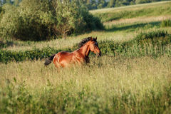The bay horse running gallop on the field. The bay horse runs gallop on the loose royalty free stock photos