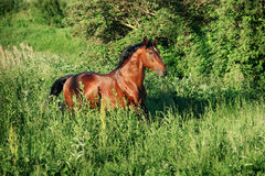 The bay horse running gallop on the field. The bay horse runs gallop on the loose stock image