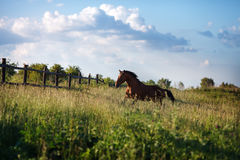 The bay horse running gallop on the field. The bay horse runs gallop on the loose stock images