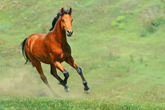Bay Horse Running In The Field Stock Photos
