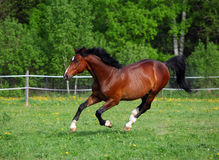 Bay horse running on a paddock Stock Images