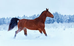 Bay horse running in the snow. Along the forest stock photos
