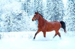 Bay horse running in the snow. Along the forest royalty free stock image