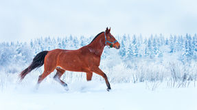 Bay horse running in the snow Royalty Free Stock Image