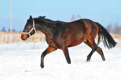 Bay horse runs Stock Photography