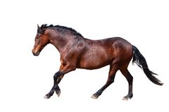 Bay horse runs forward. Side view. royalty free stock images
