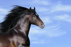 Bay horse runs gallop. In summer Stock Image
