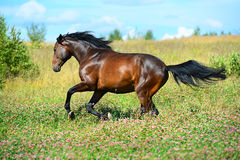 Bay horse runs gallop on flowers meadow Royalty Free Stock Photo