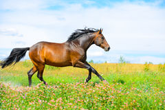 Bay horse runs gallop on flowers meadow Stock Photos