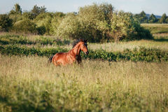 The bay horse runs gallop on the loose. The bay horse running gallop on the field stock photo