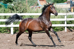 Bay horse runs gallop on paddok Royalty Free Stock Photo